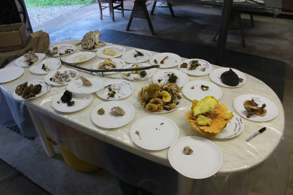 Table 1 including Chicken of the Woods (Yellow on right end) and Hen of the Woods (Gray at far end) both of which are edible